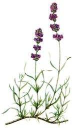 233px-Illustration_Lavandula_angustifolia0